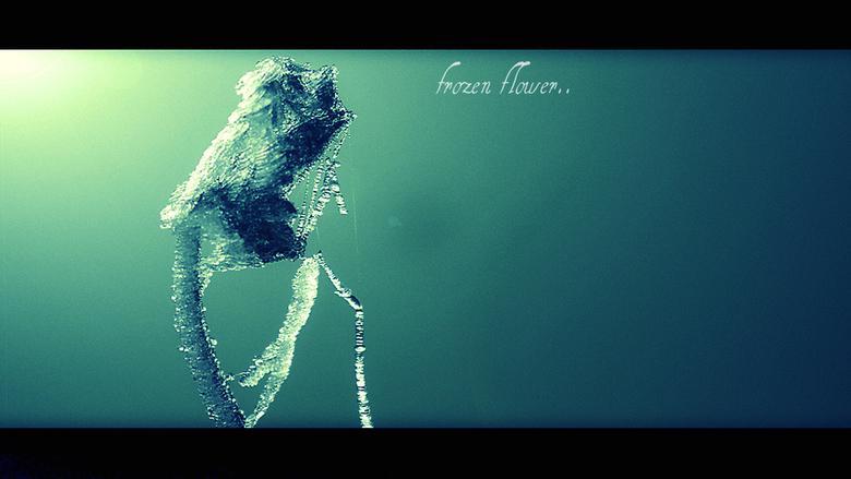 "frozen flower... - winter freeze <img  src=""/images/smileys/sad.png""/>"