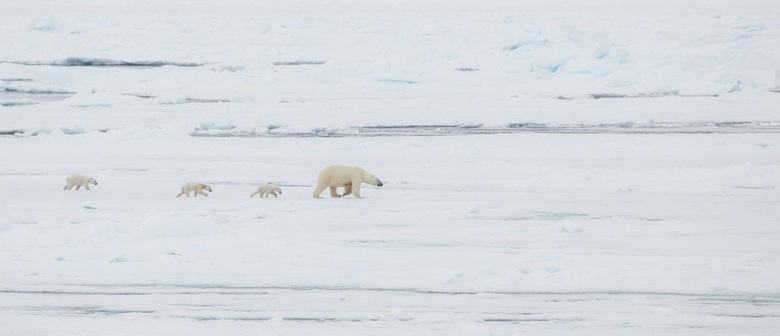 The Arctic - Zo adembenemend mooi was dit, een IJsbeer moeder met haar 3 jongen zwervend over het pakijs.