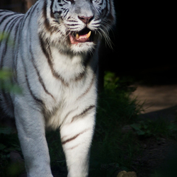 albino tijger