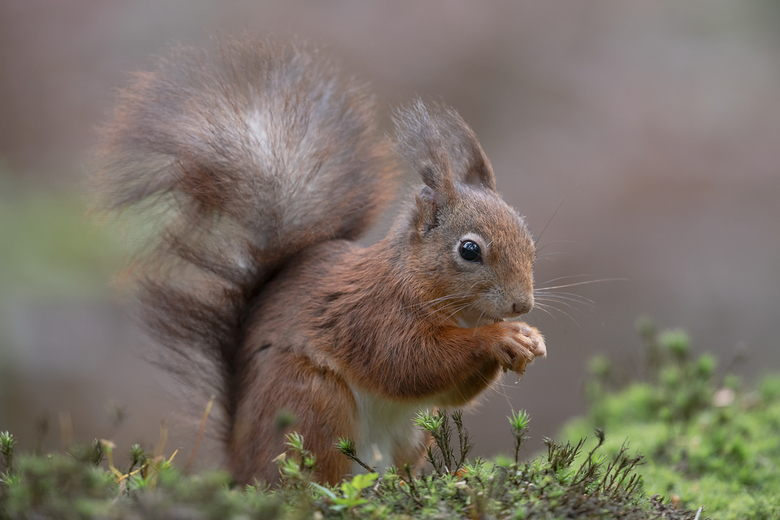 Eekhoorn - De verleiding is groot als er op het moment geen vogels zijn en de Eekhoorn komt voorbij, om dit mooie diertje te fotograferen.<br /> <br