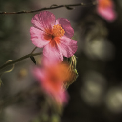 helianthemum vesicarium