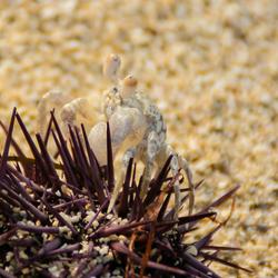 Sea Urchin Snack