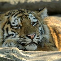 Siberische tijgerwelp