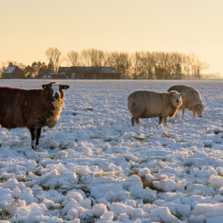 Winter sheeps