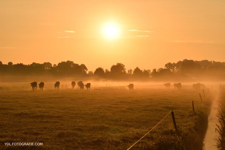 Koeien in de mist -