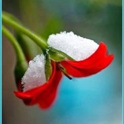 Yep, sneeuw-bloem
