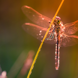 Dragonfly in my Dream