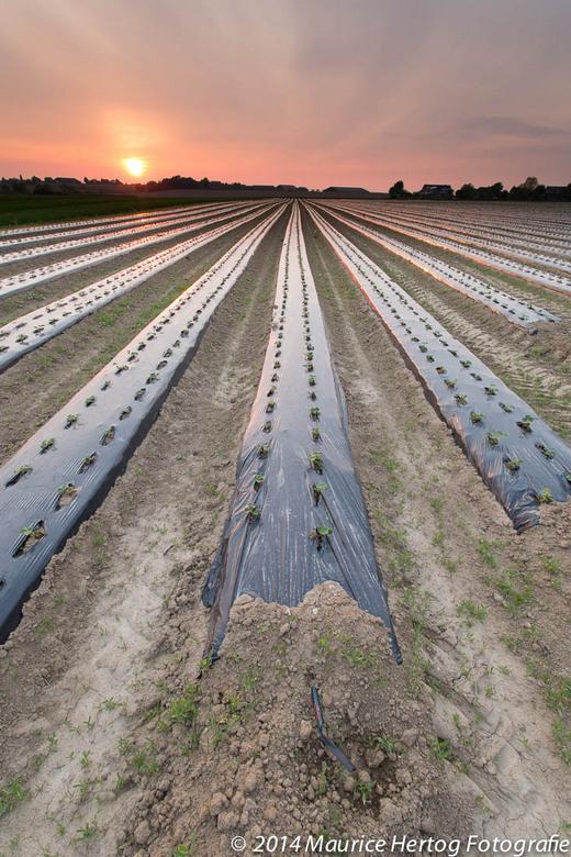 Strawberry fields forever - Strawberry fields forever