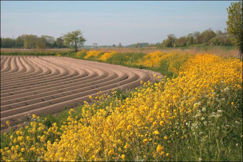 Lijnen in het landschap - In de omgeving van Mensingeweer <br /> De lijnen van de aardappel ruggen in combinatie met het bloeide koolzaad  op het tal