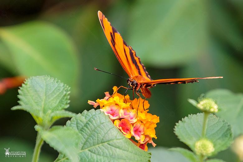 Vlinders aan de Vliet - De Dryadula phaetusa vlinder in Vlinders aan de Vliet.<br /> <br /> De vleugels zijn 73 – 76 mm breed en oranjebruin met zwa