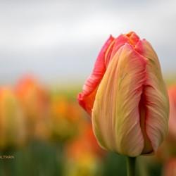 Tulp, Noordoostpolder