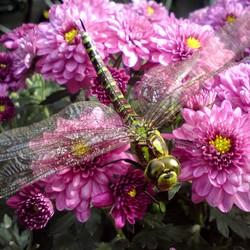Een libelle op een asterpot.