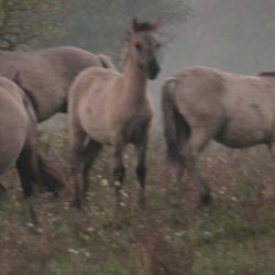 Konikpaarden in de mist