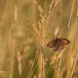 Vlindertje in z'n natuurlijke omgeving