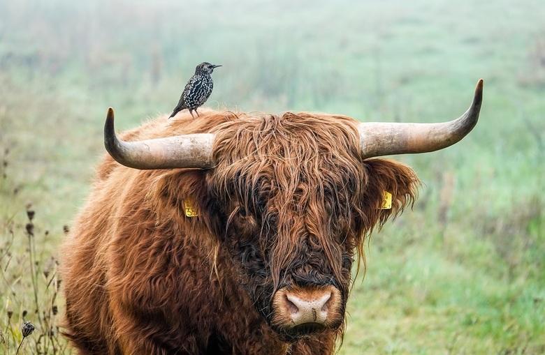 Meeliften met de Schotse Hooglander
