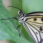 Papier vlinder (Idea Leuconoe)