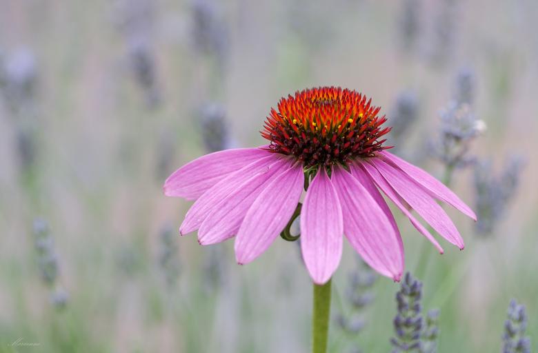 Lavendel bokeh