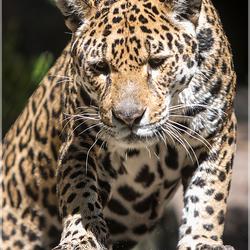 Jaguar moeder