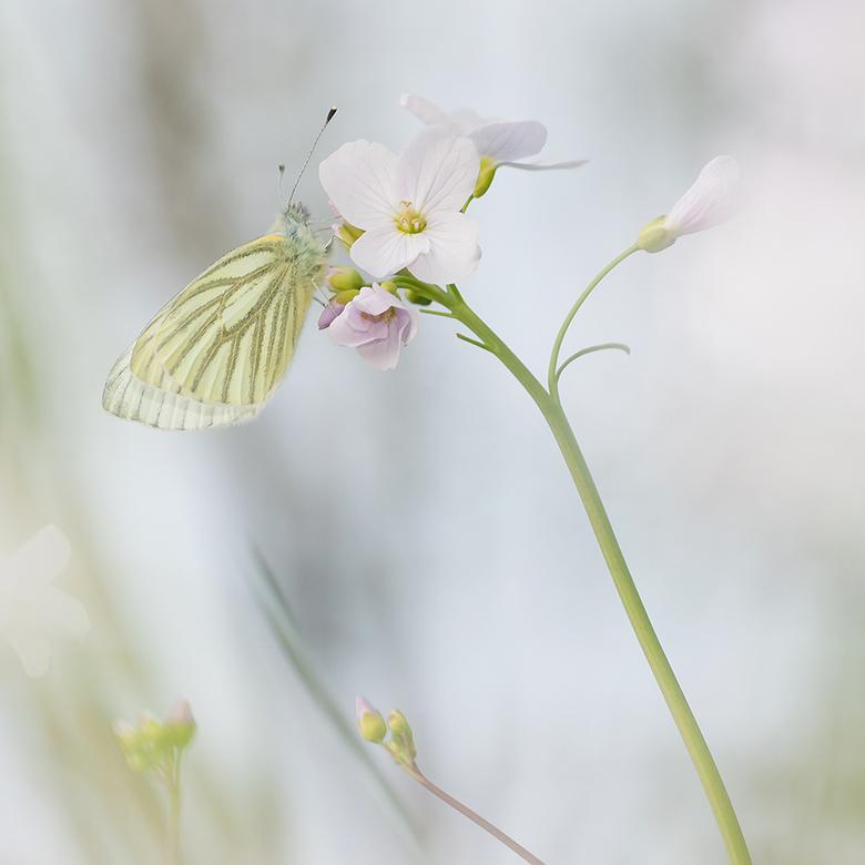 Klein-geaderd Witje - Dinsdag na het werk op zoek naar de 1e vlinders van dit jaar. Dit Klein-geaderd Witje had wel een heel mooi plekje uitgezocht. <