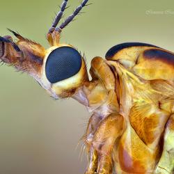 Tipula paludosa.
