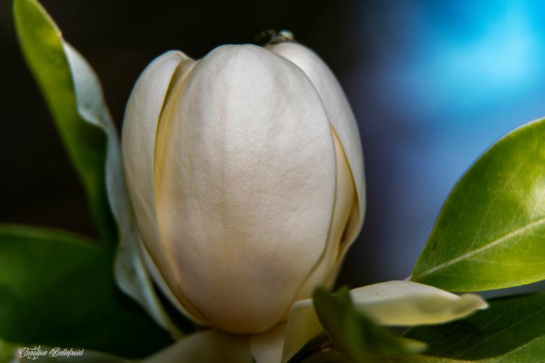 late magnolia