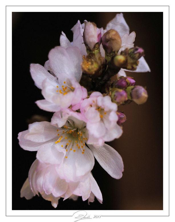 Prunusbloesem - ...
