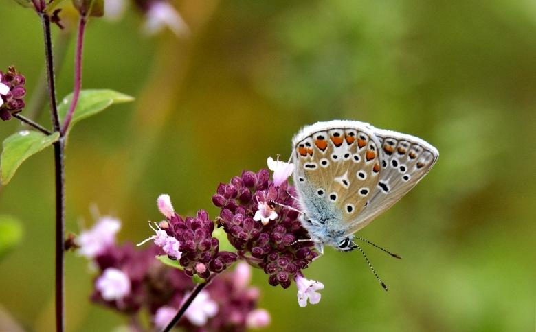 Icarisblauwtje - Prachtig zomervlinderje