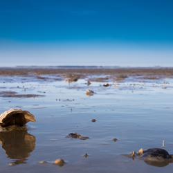 Schelp in de Waddenzee
