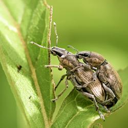 Klauterende Snuitkevers