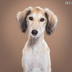 Saluki puppy Zahra | Pet Studio
