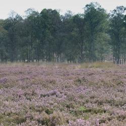 Heide  op Veluwe