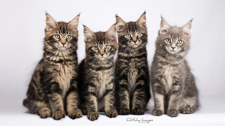 Maine Coon kittens (12 weken) -