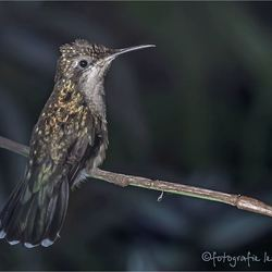kolibrie 02