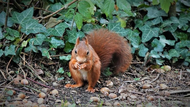 """Eekhoorn - Eindelijk een eekhoorn op mijn """"voederplaats"""". Het valt niet mee een eekhoorn te lokken in en bos vol hazelnoten en dennenappels."""