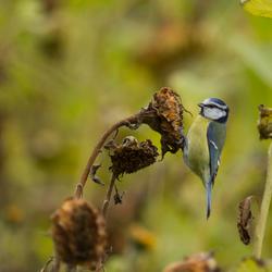 blue tit in autumn atmosphere