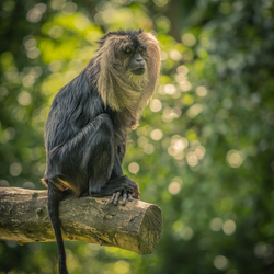 Lion tailed macaque ..