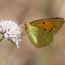 2013meibadlgf-vlinder groot.jpg