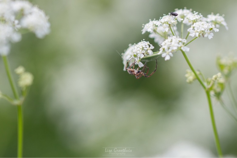 De spin en haar prooi -