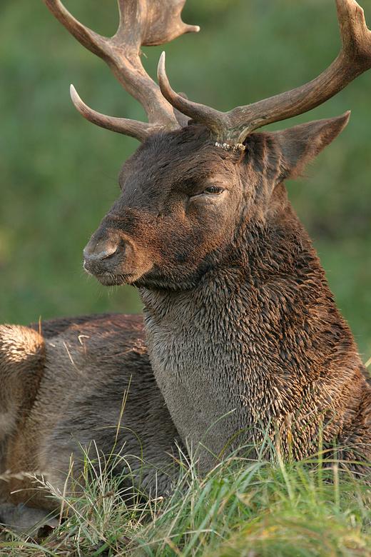 Hert in het AWD - Deze indrukwekkende jongen lag even uit te puffen in het gras.