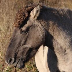 Konikpaard bij Loo (Gelderland)