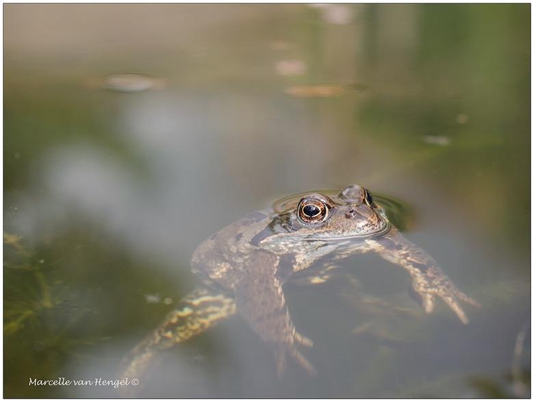 Voorjaar in de tuin - In de vijver is het voorjaar weer goed hoorbaar door het kikkerconcert. De kikker-hormonen zijn luid en duidelijk aanwezig!