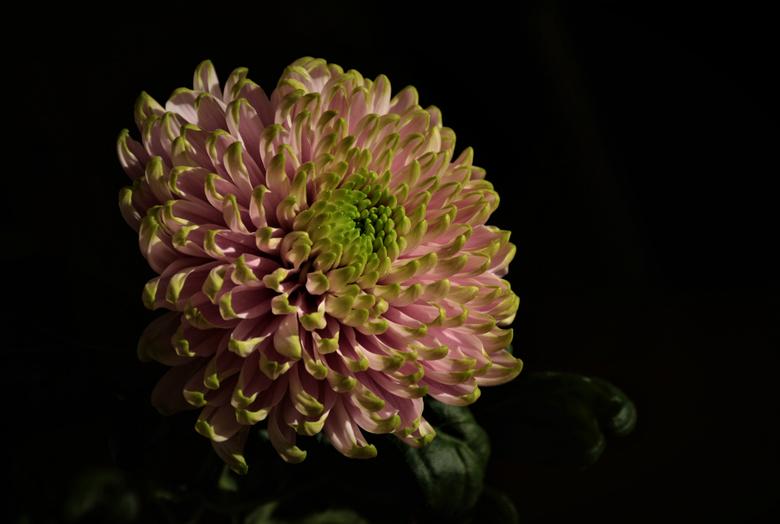 roze bloem - mooie Roze Chrysant.      Ali heeft gelijkt ,  prachtige bloemen die fotogeniek zijn.