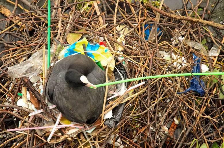 Meerkoet op rommelig nest - Een meerkoet gebruikt een rietje om haar nest in een Amsterdamse gracht mee af te maken