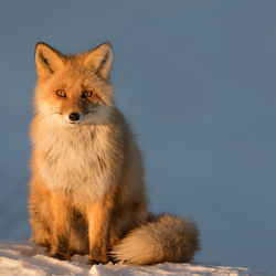 Sunset fox