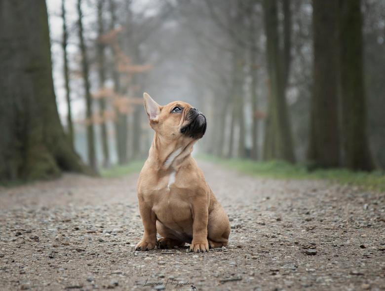 Danja - Danja<br /> <br /> Franse Bulldog<br /> <br /> 13 weken oud