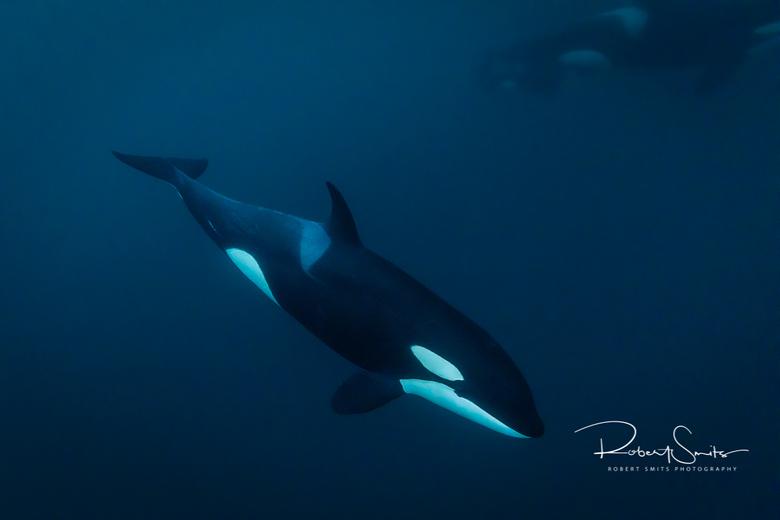 Orca in het water... - Wist je dat iedere orka heeft zijn eigen unieke patroon, dat net iets afwijkt van andere orka's, waardoor voor een geoefen