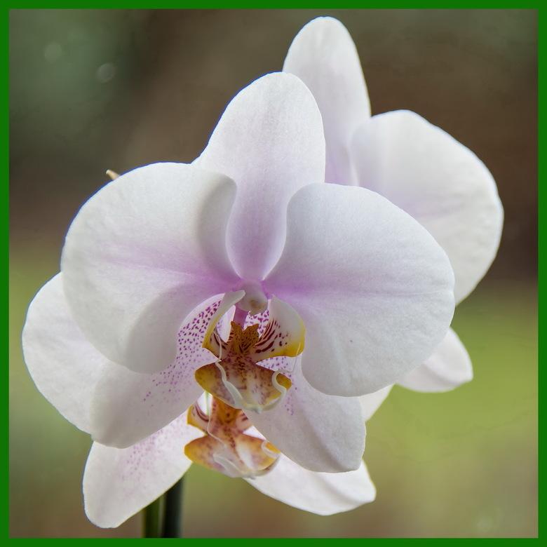 Maanorchidee - Maanorchidee (Phalaenopsis amabilis) op de vensterbank