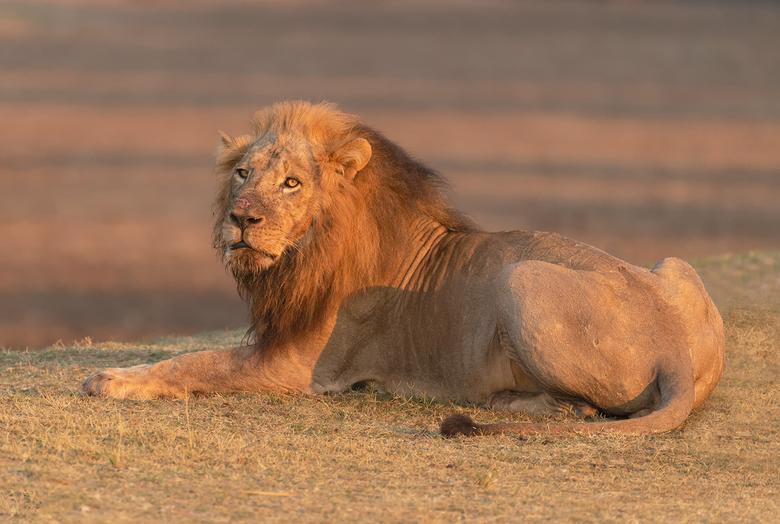 Lion - Deze Leeuw wordt in Zambia, Garlic genoemd een broer van de beroemde Ginger.<br /> <br /> hoi henk<br /> http://www.hlfotografie.nl/