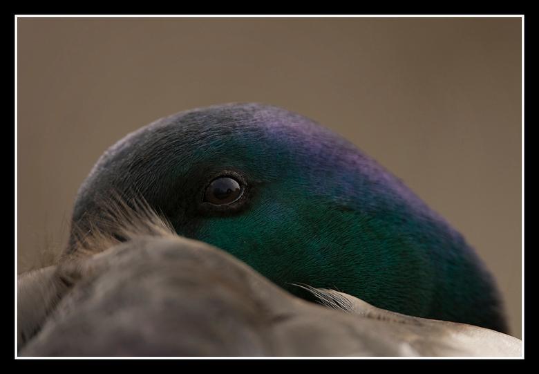 Siesta houden!! - Het blijven één van mijn favo&#039;s om te fotograferen: Eenden!!!<br /> Een woerd die zijn dutje wilde doen en dan toppen ze de sn