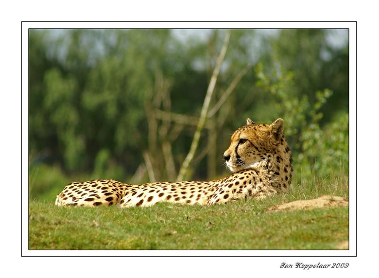 Cheetah - Een cheetah. Eén van mijn mooiste roofdieren. Schitterende uitstraling, mooie vacht, gestroomlijnd en bruisend van kracht en energie. <br />